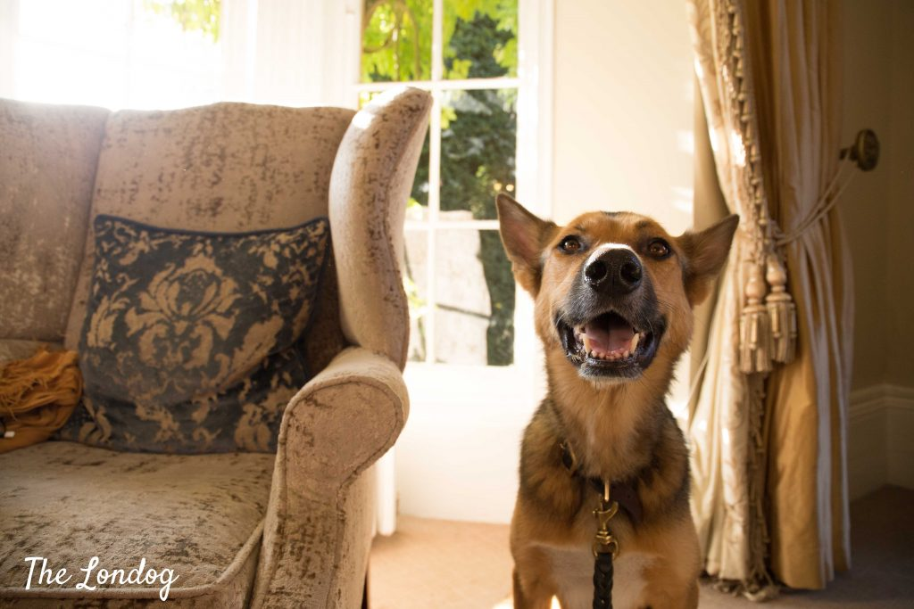Dog smiling at tea room at Greenway Hotel in Chelthenham Spa