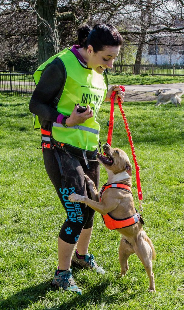 dog with harness before starting run