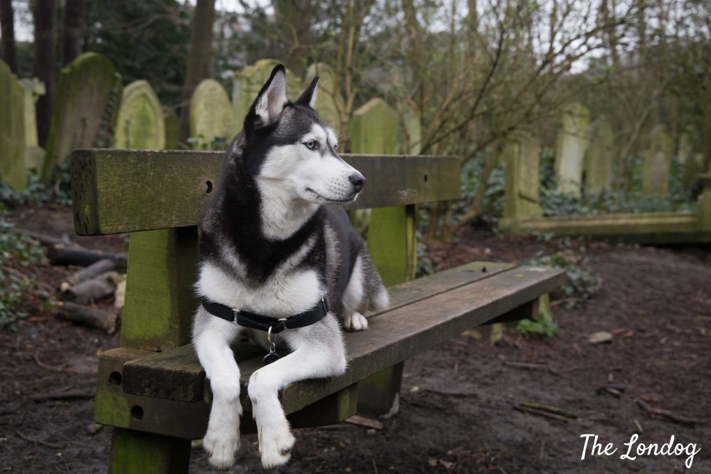Husky dog on bench at dog-friendly cemetery