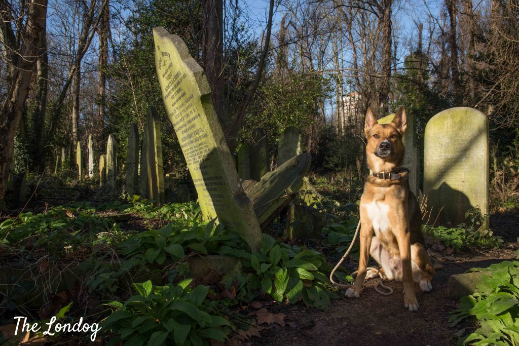 Large dog among graves at dog-friendly cemetery park in London