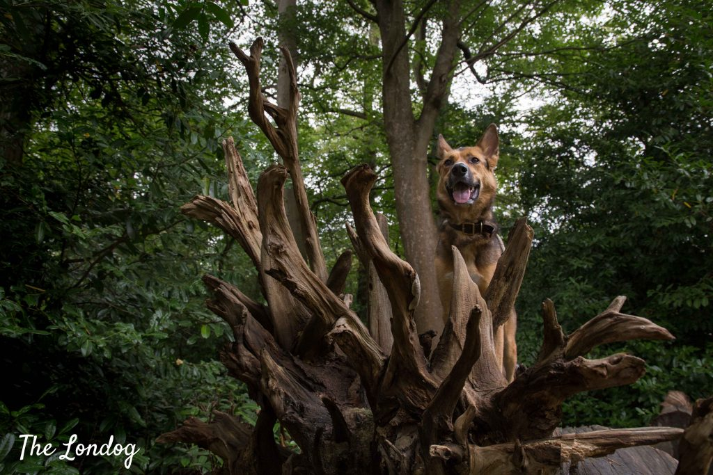 Dog stands on dead tree in woodland