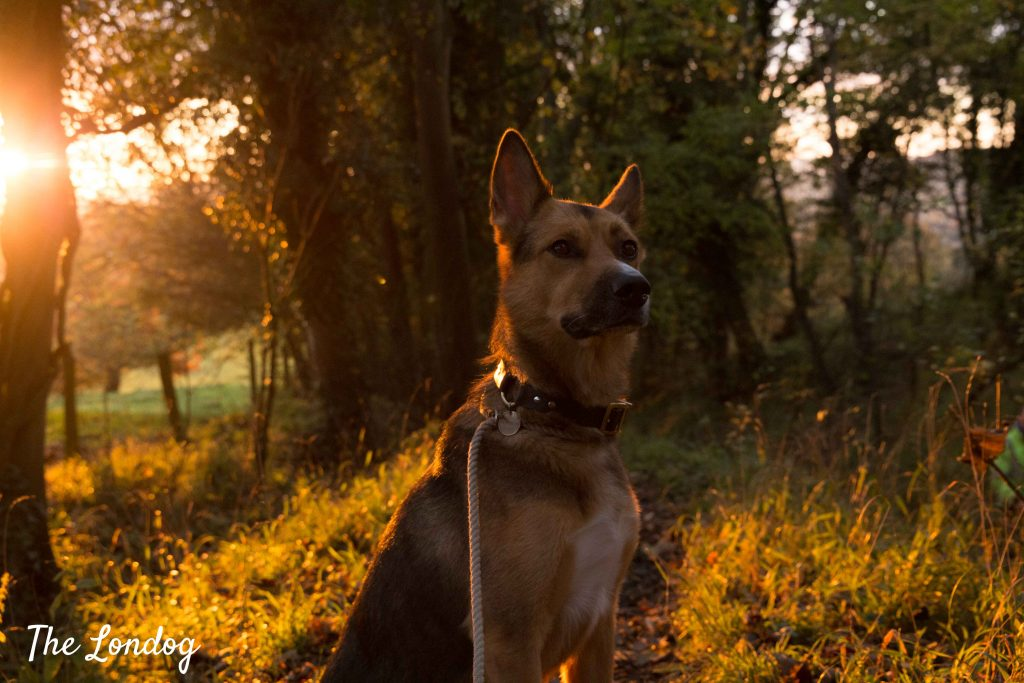 dog at sunset walking in Cotswolds