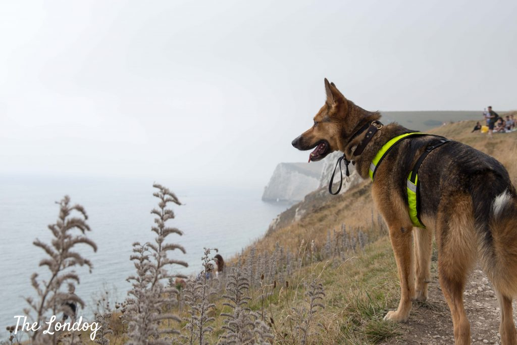 Dog on path near Durdle Door