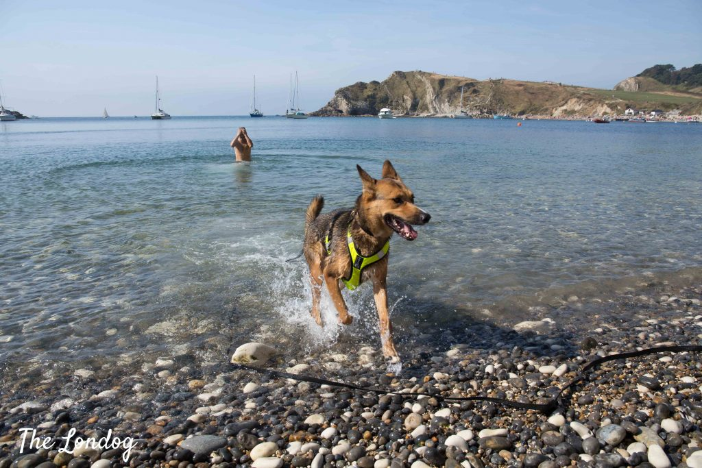 Dog running out of the water on dog-friendly beach in the Jurassic Coast