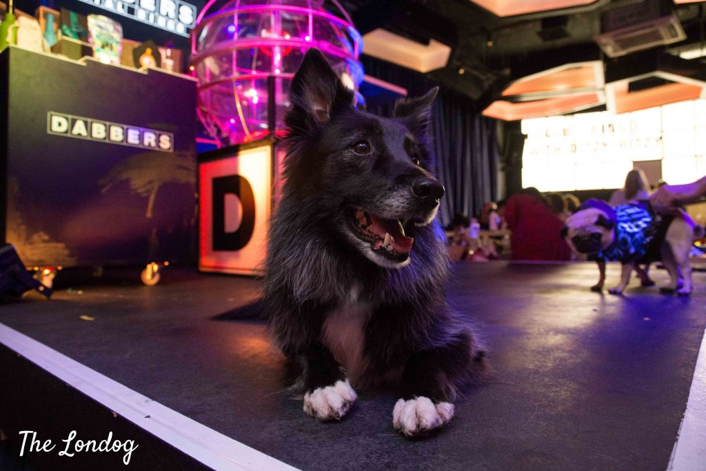 Collie on stage at dog-friendly bingo