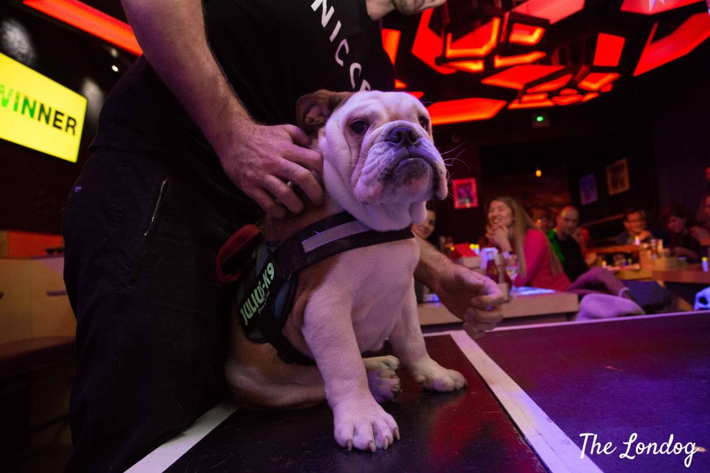English Bulldog winner of best in show at Dabbers Bingo