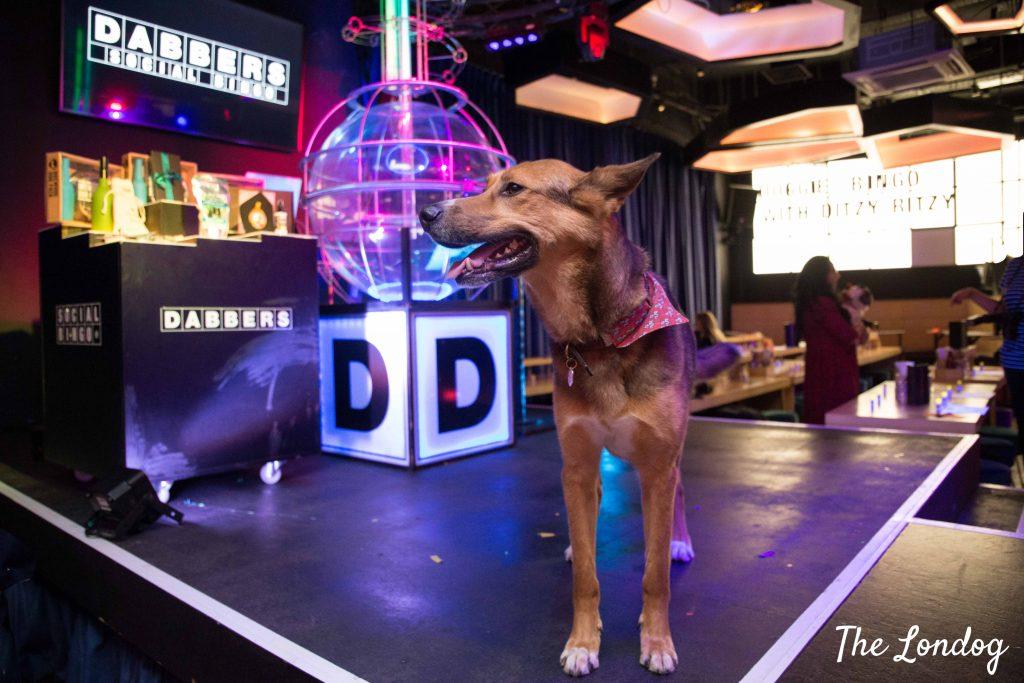 Large dog at dog-friendly bingo event Doggie Bingo at Dabbers Social Bingo