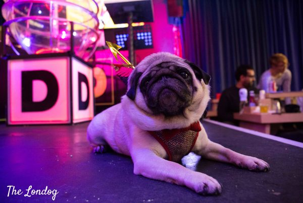 Pug at Dabbers Bingo