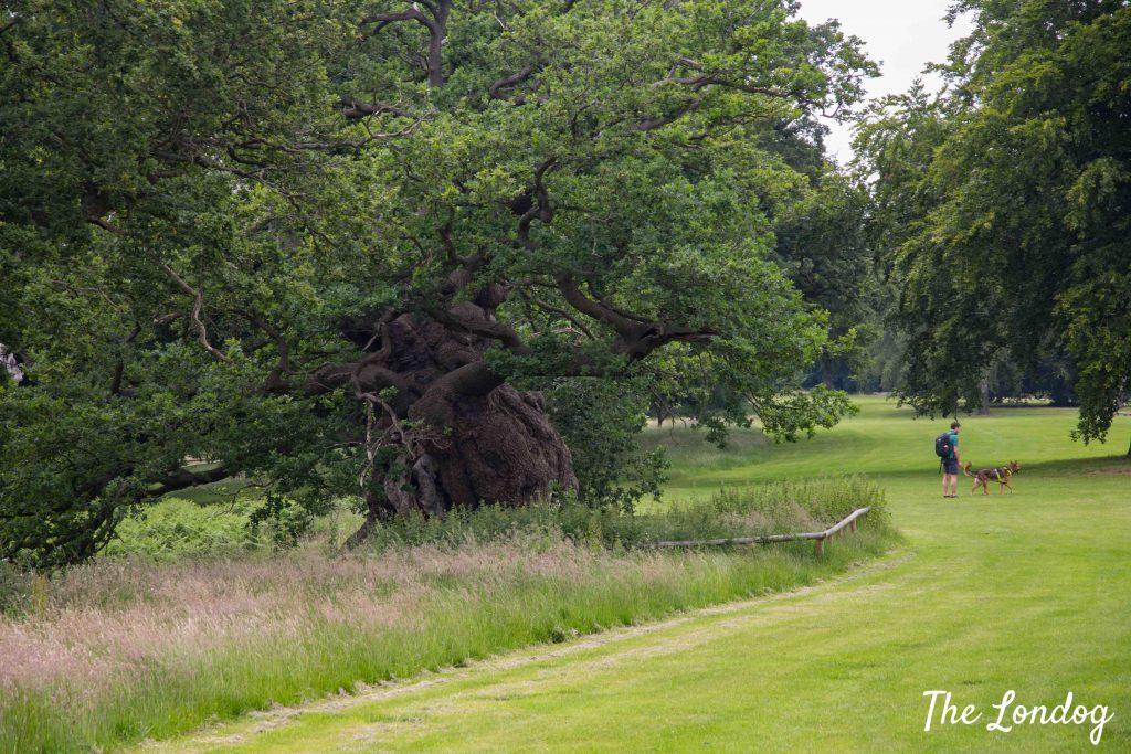 Huge tree at Hatfield House park