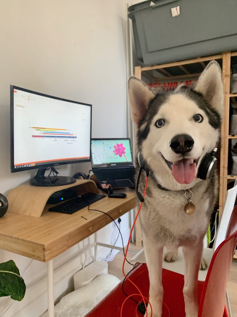 Husky dog working from home