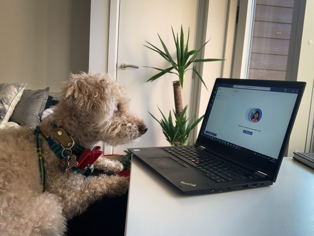 Dog stares at laptop