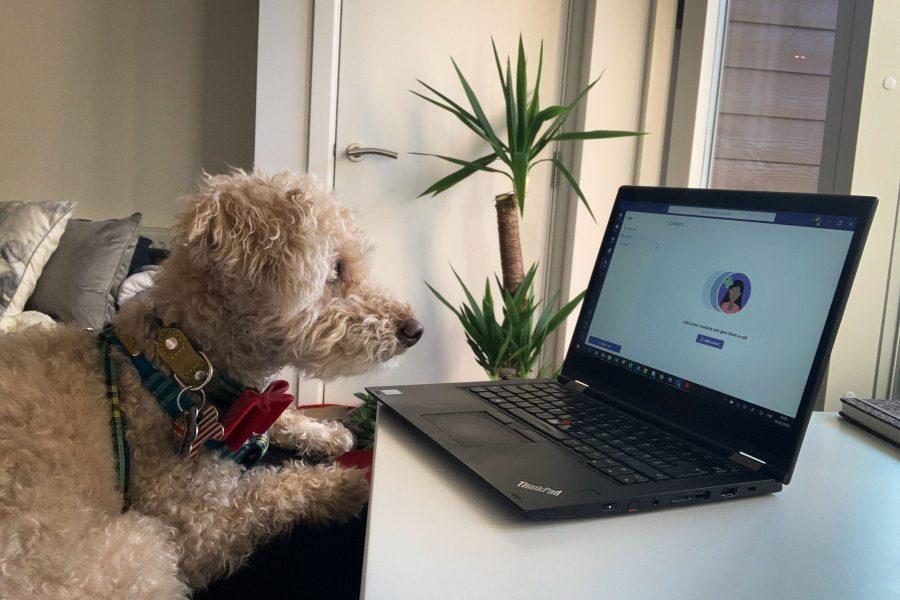 Dog stares at laptop