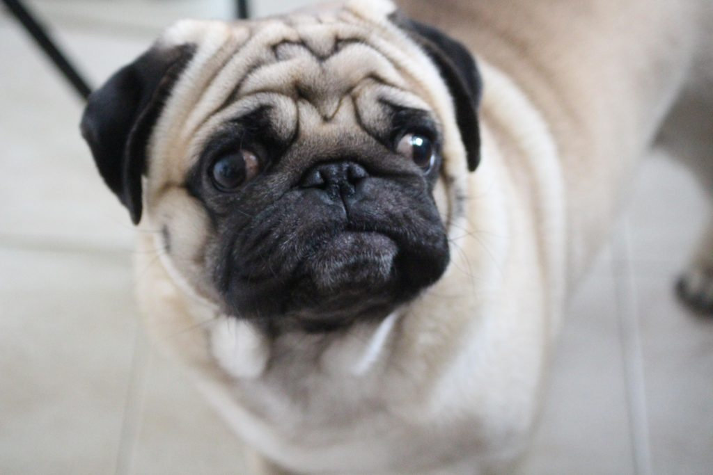 Pug from Spain during lockdown