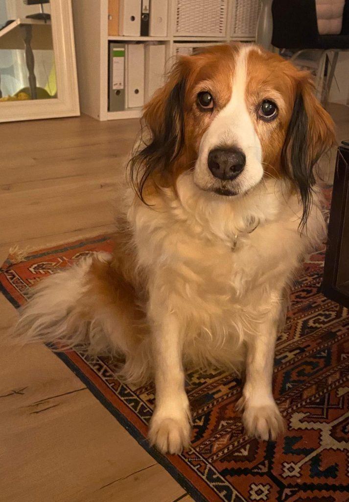 Dog at home looking at camera