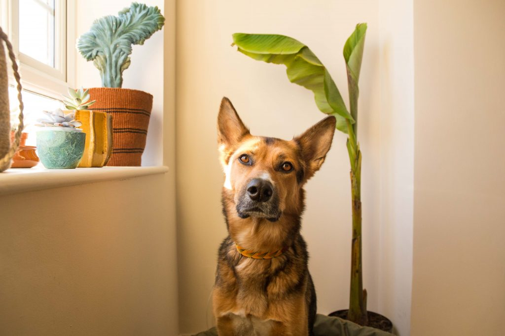 Dog with house plants at sunset