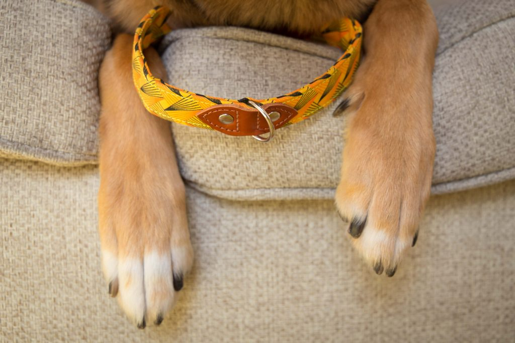 Dog collar between dog paws