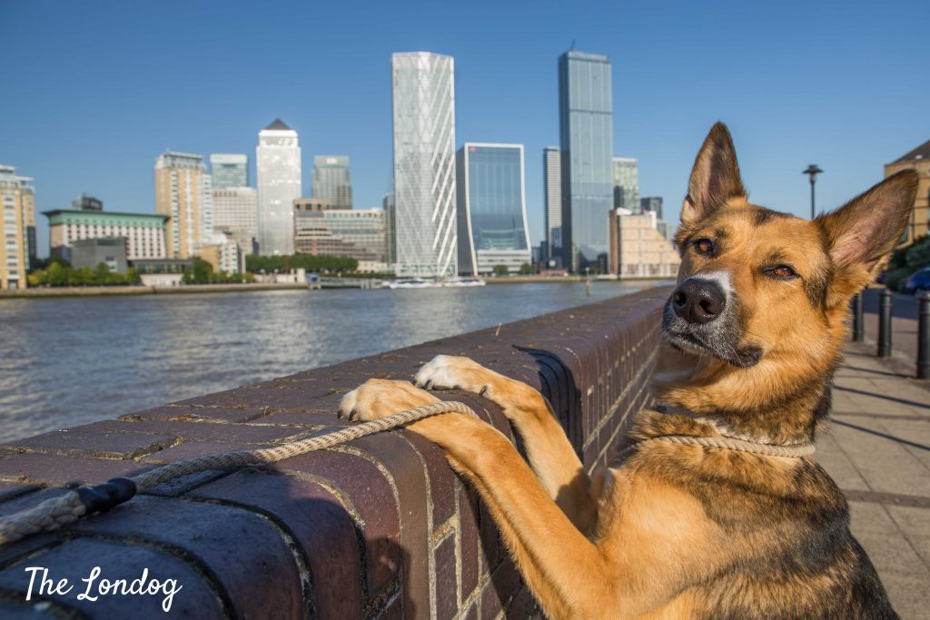 Dog admires view on Canary Wharf from Jubilee Greenway/Thames Path