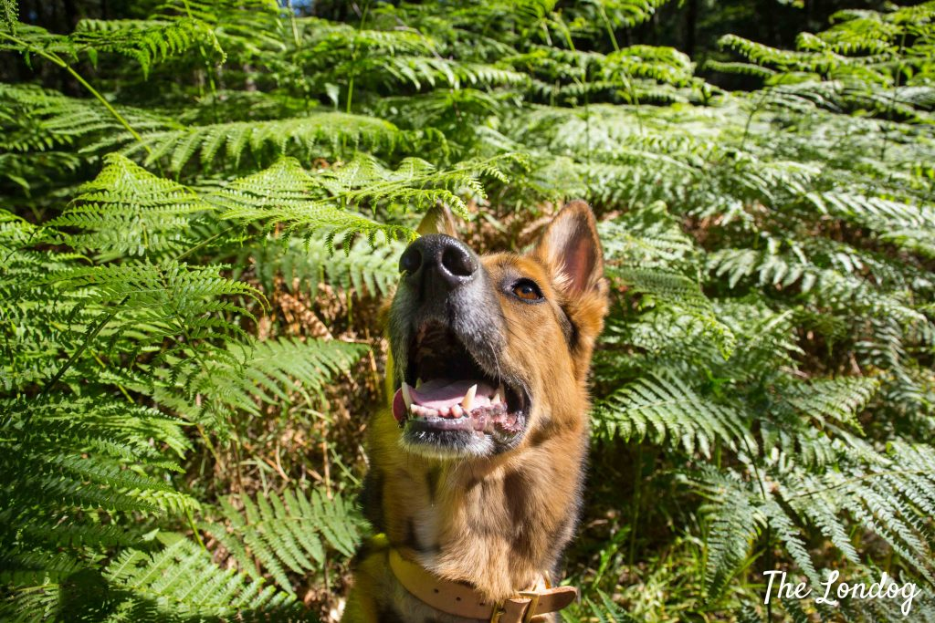 Dog among ferns on woodland walk