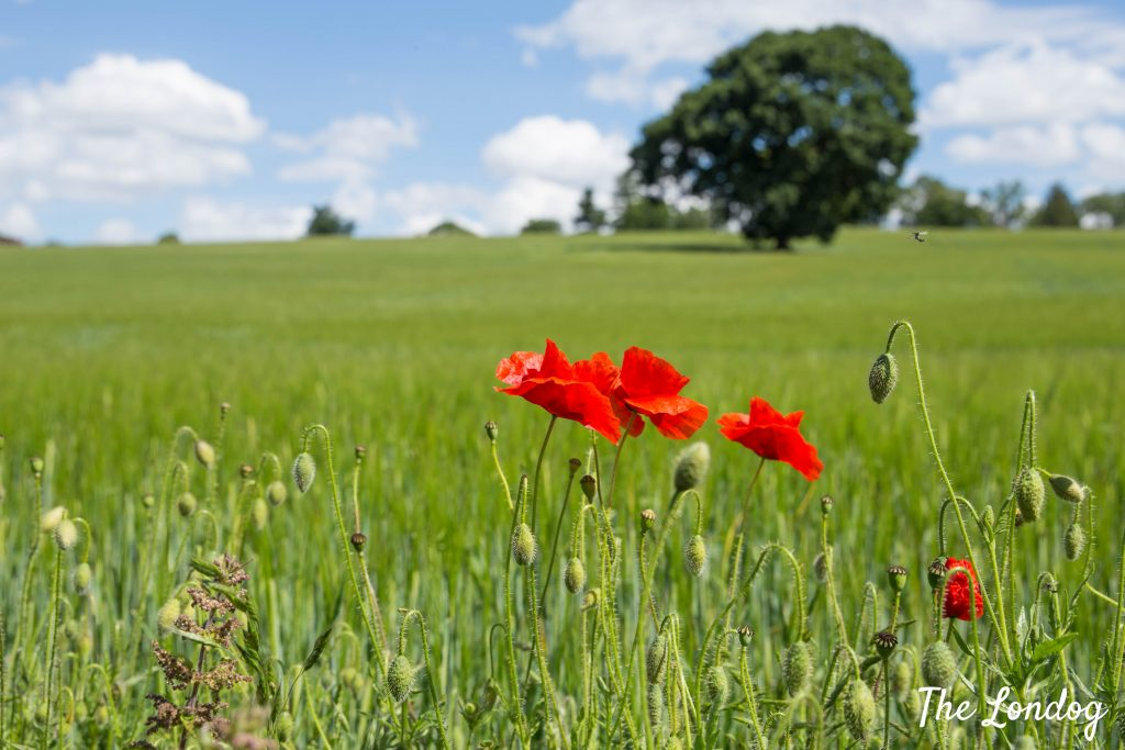 Poppies in a green field on a sunny day