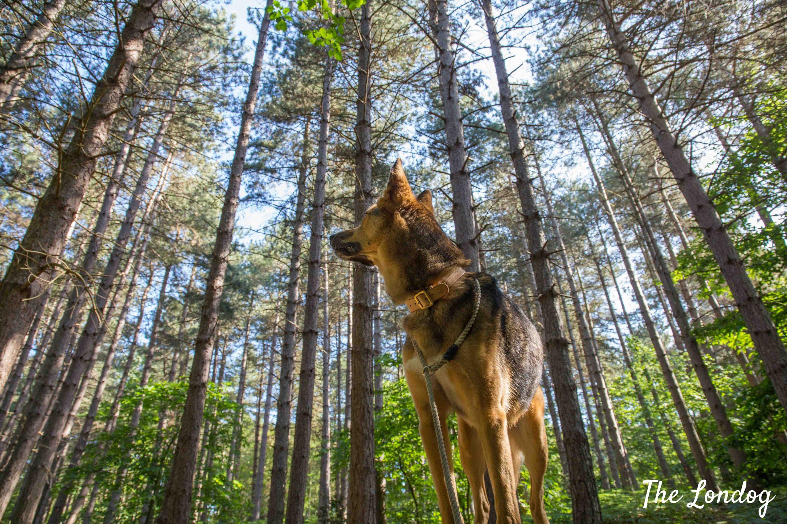 Dog among trees on walk at Joyden's Wood