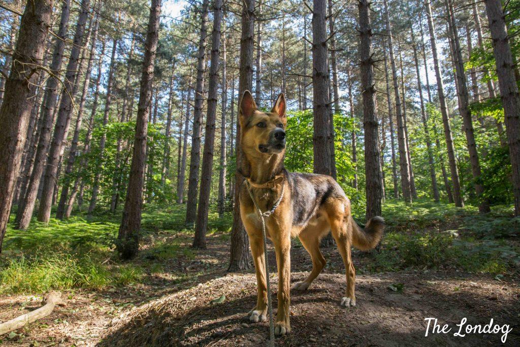Dog among trees at Joyden's Wood