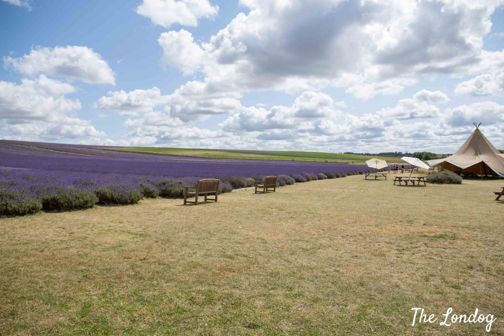 View of lavender field at Hitchin Lavender
