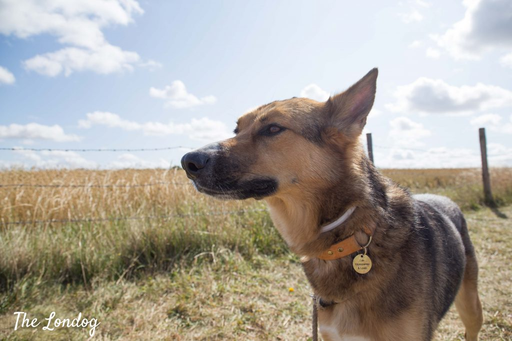 Dog in summer countryside