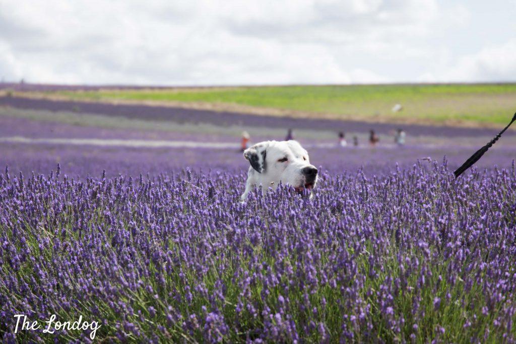 Dog peeking from lavender field