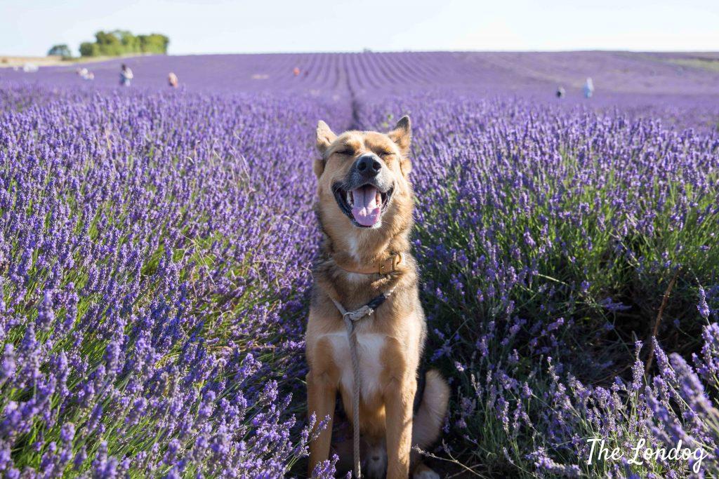 Dog-friendly lavender field Hitchin Lavender