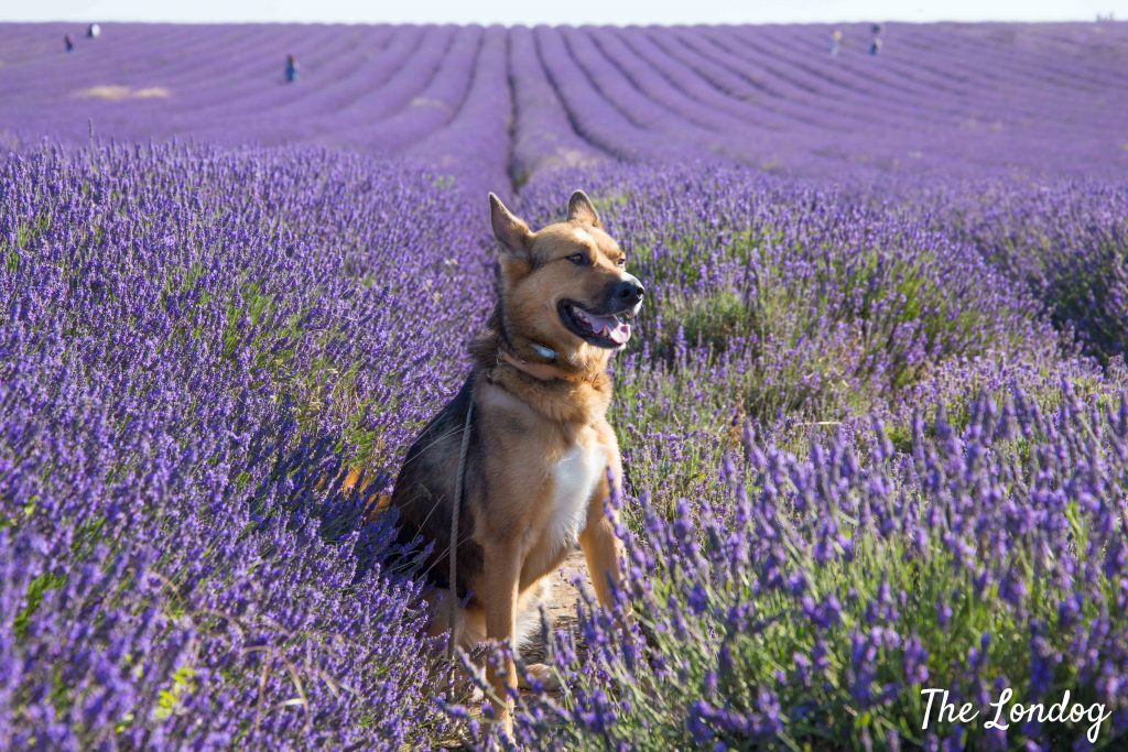 Dog at dog-friendly Hitchin Lavender fields