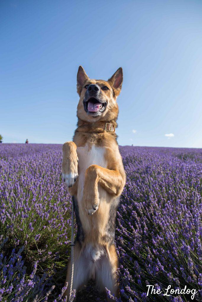 Dog standing amog lavender rows