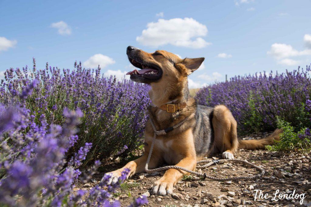 Dog among lavender rows at Hitchin Lavender