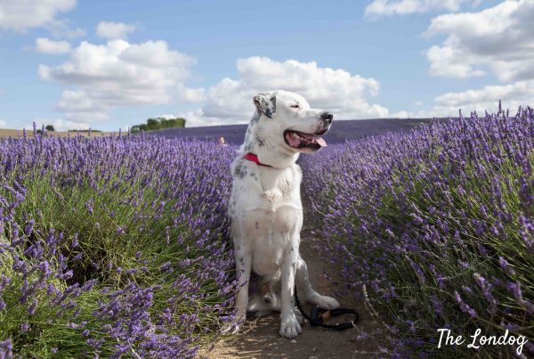 White dog among lavender rows