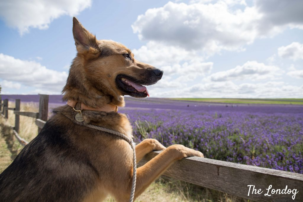View of Hitchin Lavender with dog from footpath