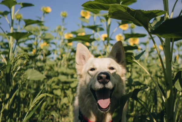 Dog at dof-friendly sunflower patch