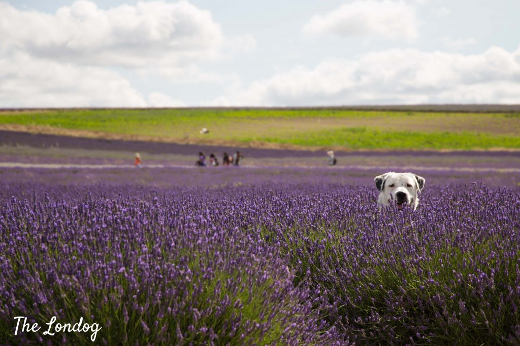 Dog at Hitchin Lavender near sunflower patch