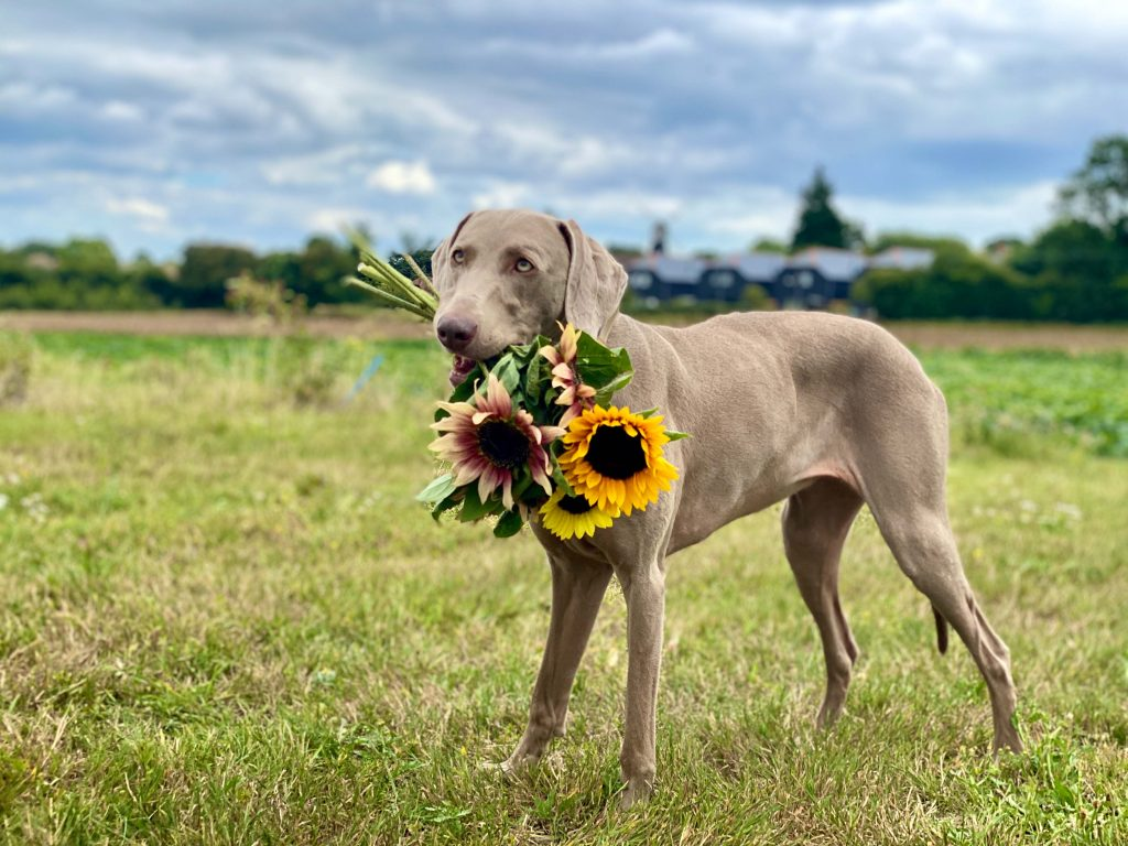 Dog carries sunflower bunch at Meopham dog-friendly sunflower patches