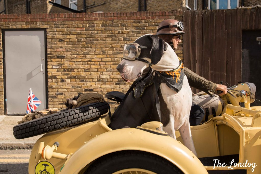 Great Dane dog looks behind while travelling on sidecar