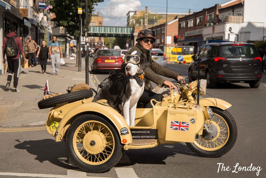 Great Dane dog on sidecar crossing the street in Shoreditch London on a sunny day