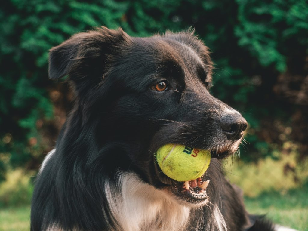 Collie dog holding tennis ball